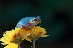 庭で見つけた青い雨蛙(突然変異)